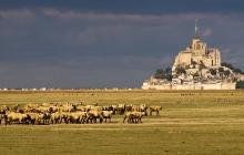 Les moutons du Mont-Saint-Michel