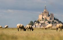 Mont Saint-Michel - Les moutons